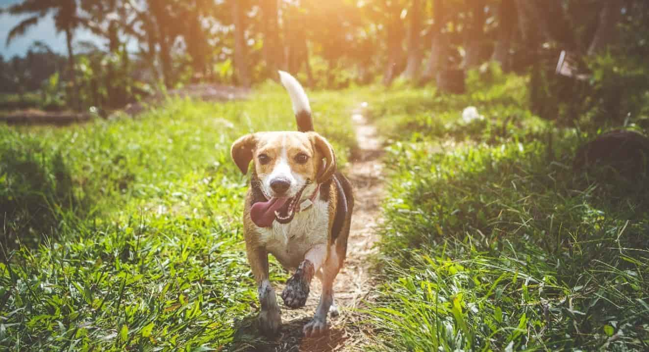 Beagle runs around at a green park