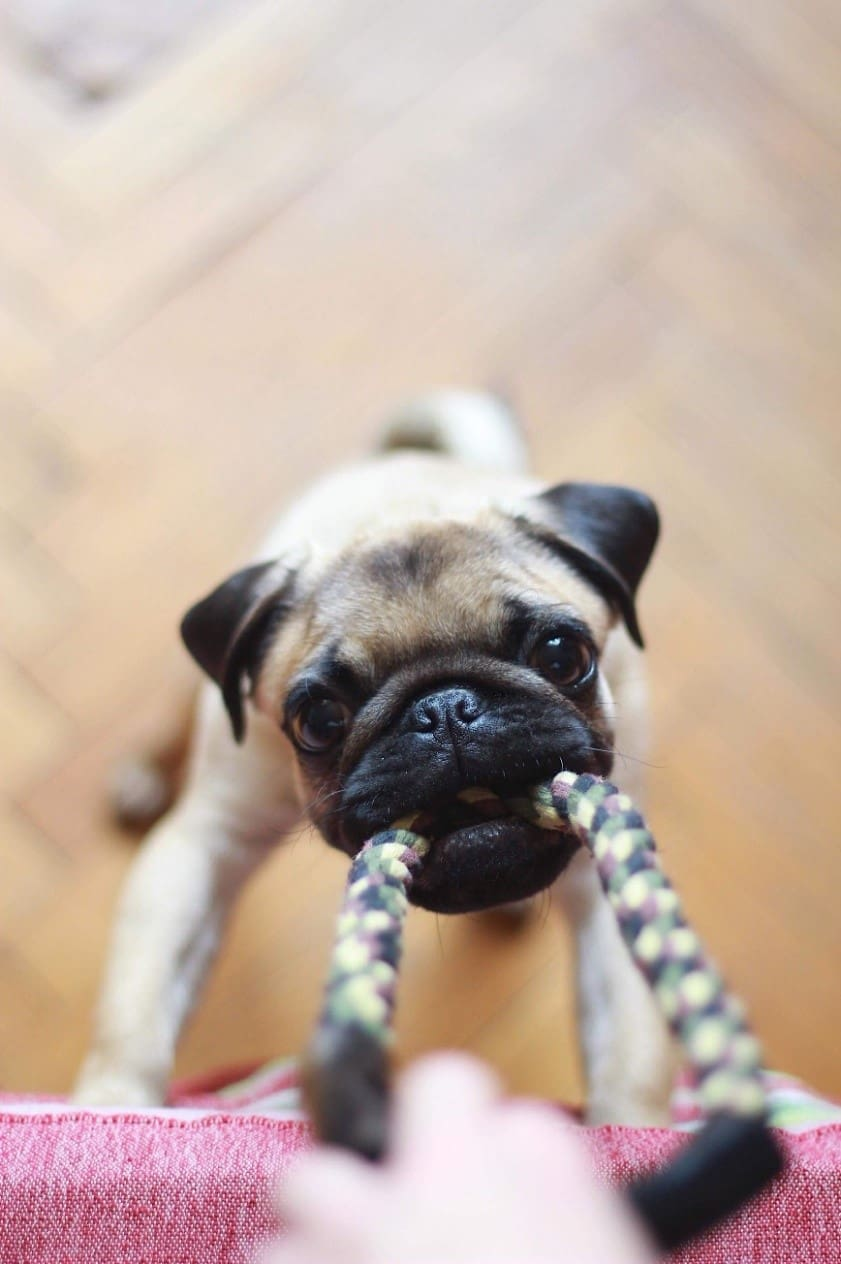 Pug playing with a rope toy