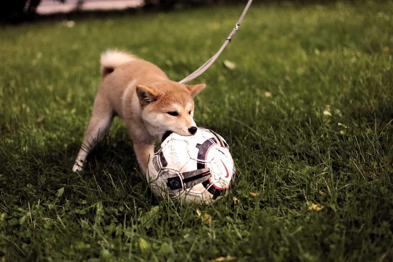 Shiba playing soccer