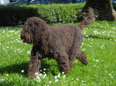 Barbet is one the new dog breeds in 2020