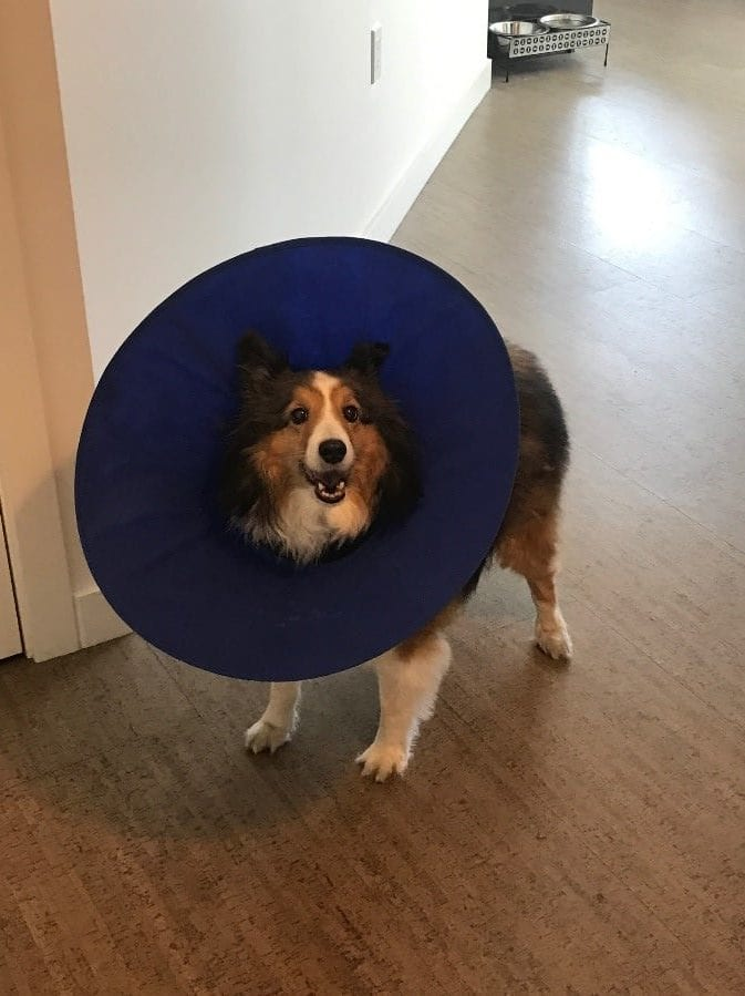 Dog Cones: Alternatives to the Cone of