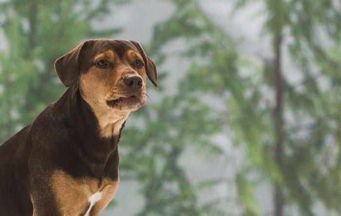 Brown pitbull looks away