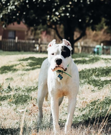 Dogo Argentino is of the new dog breeds in 2020