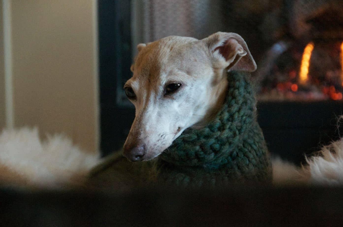 Greyhound wears winter sweater