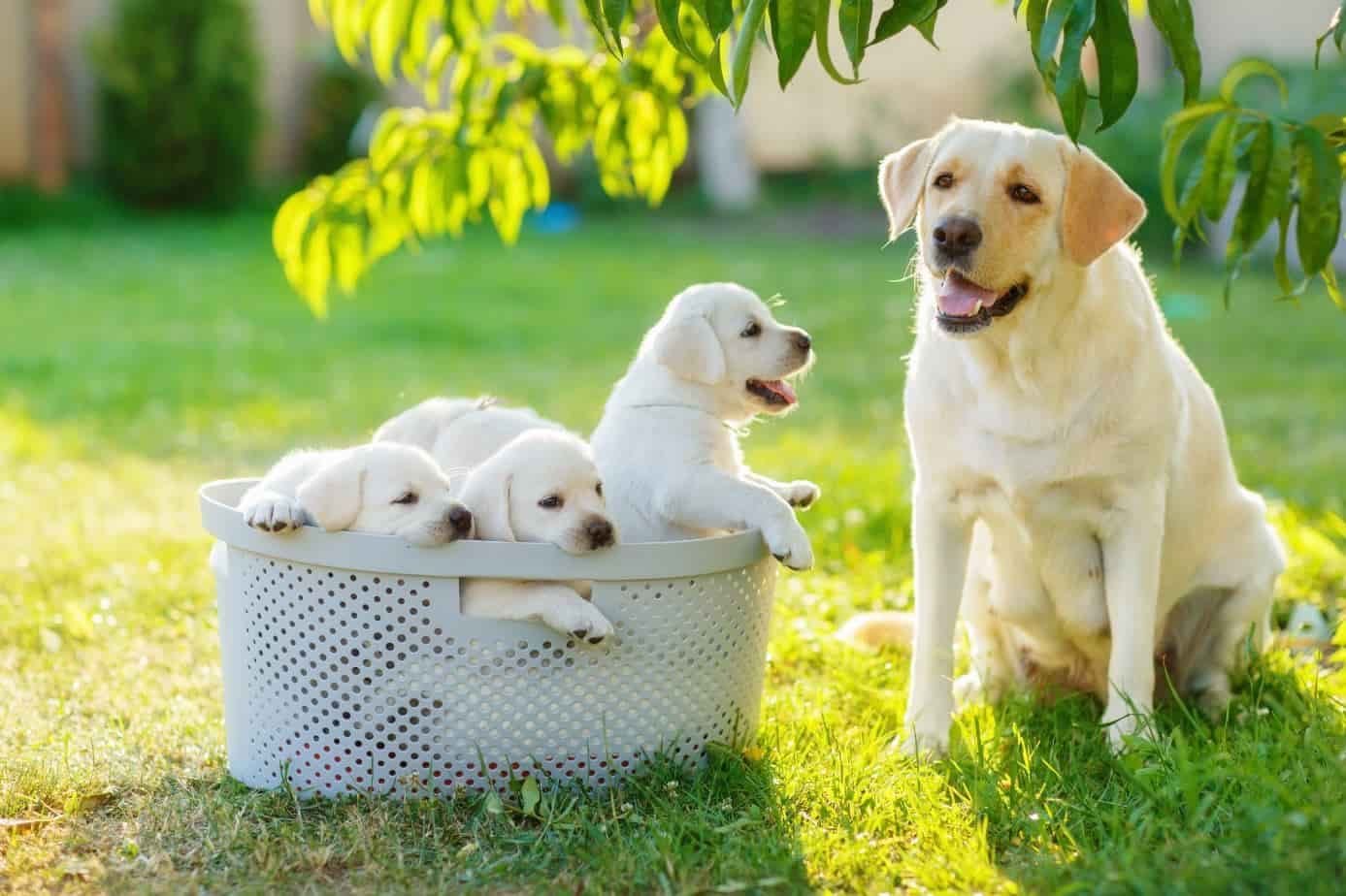 golden retriever and 3 puppies