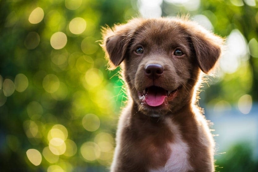 Close up brown puppy