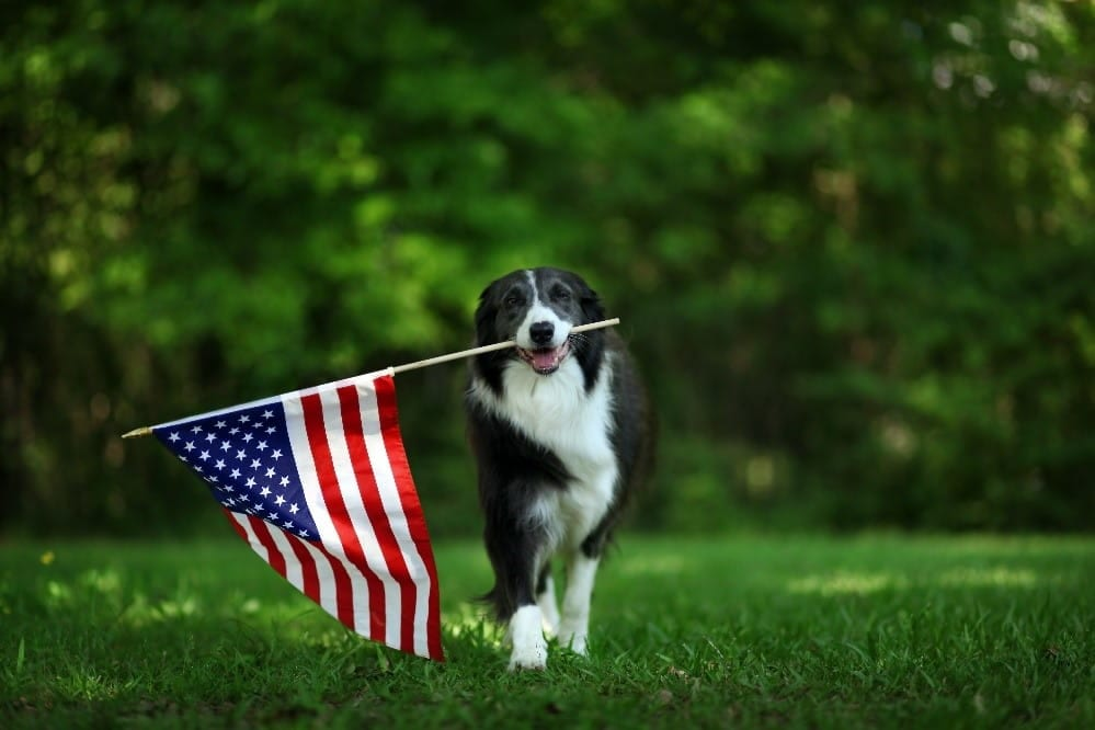 Dog and national flag of the U.S
