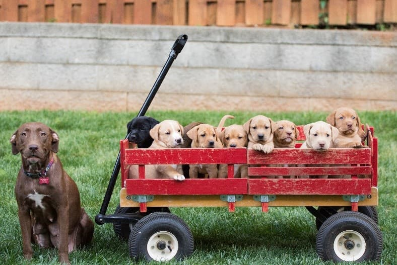Many puppies in red wagon
