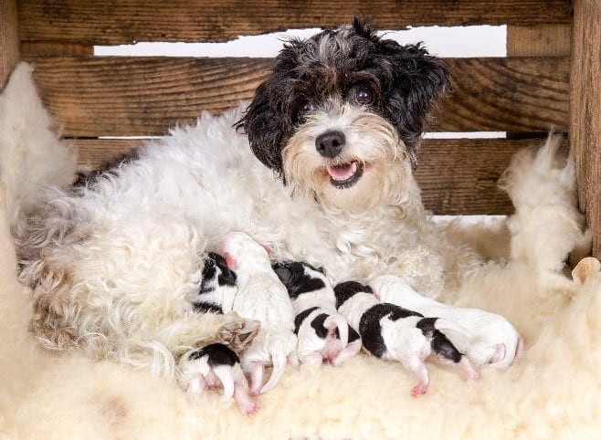 Parent dog feeds puppies