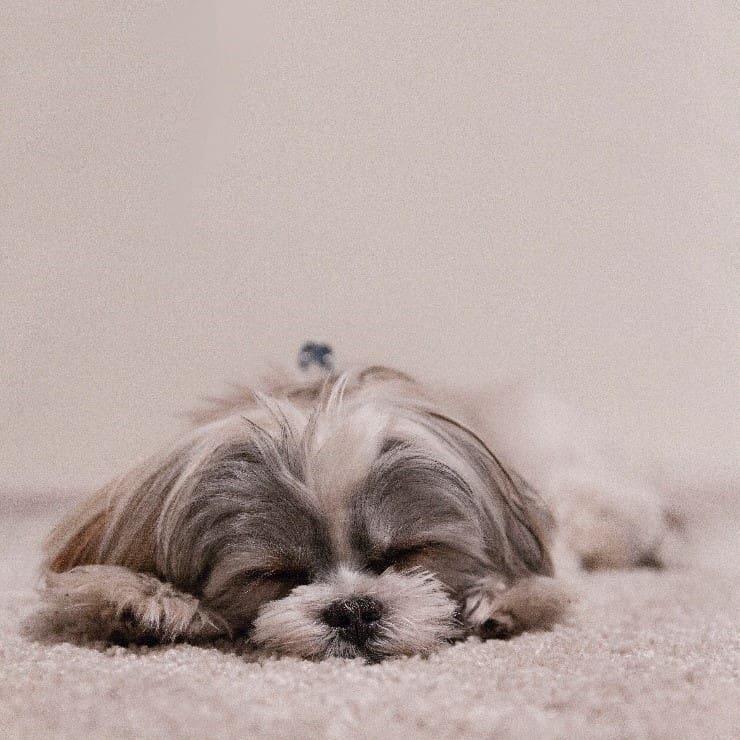 Shih Tzu sleeping on carpet
