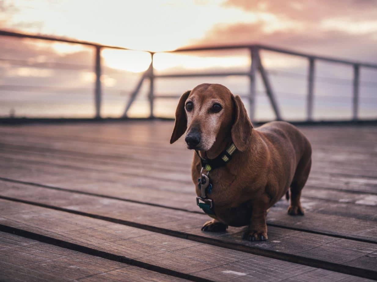 Short dog on jetty