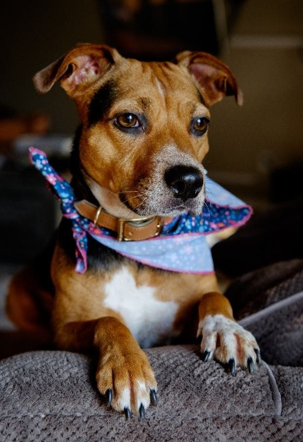 Dog with a scarf shows emotional expressions