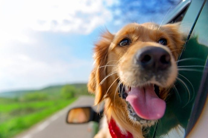 Dog sticking his face from car window