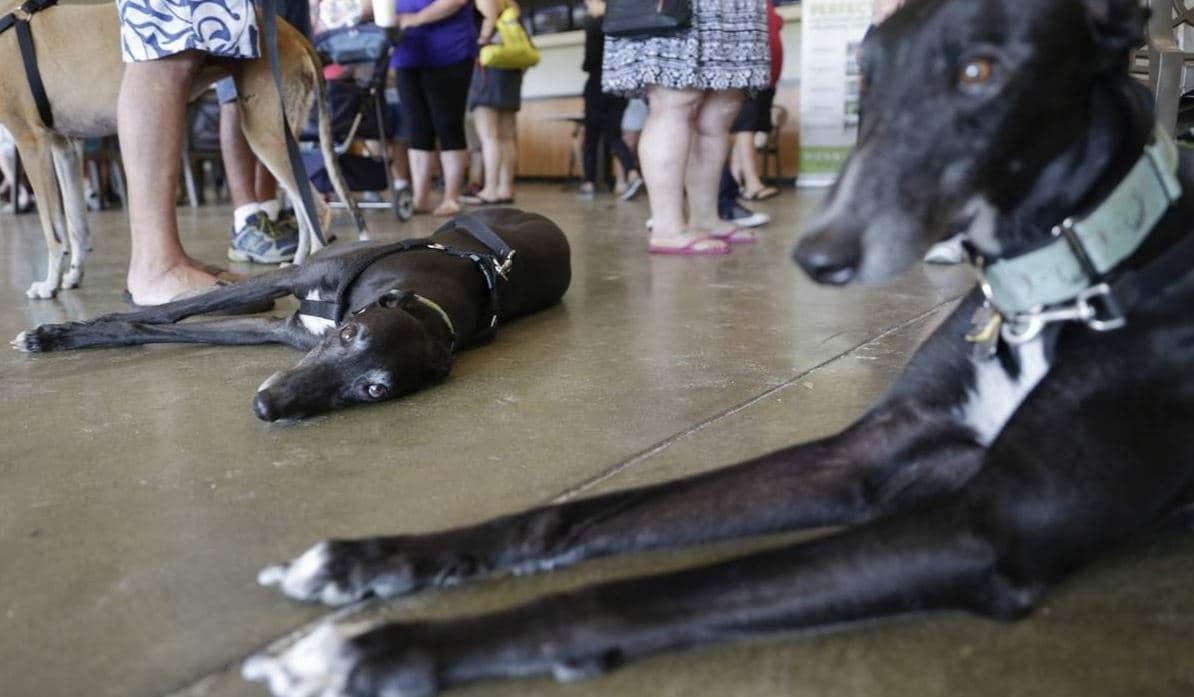 385 Greyhounds lined up to race