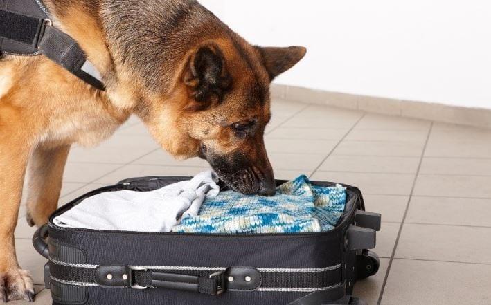 Sniffing dog checking baggage