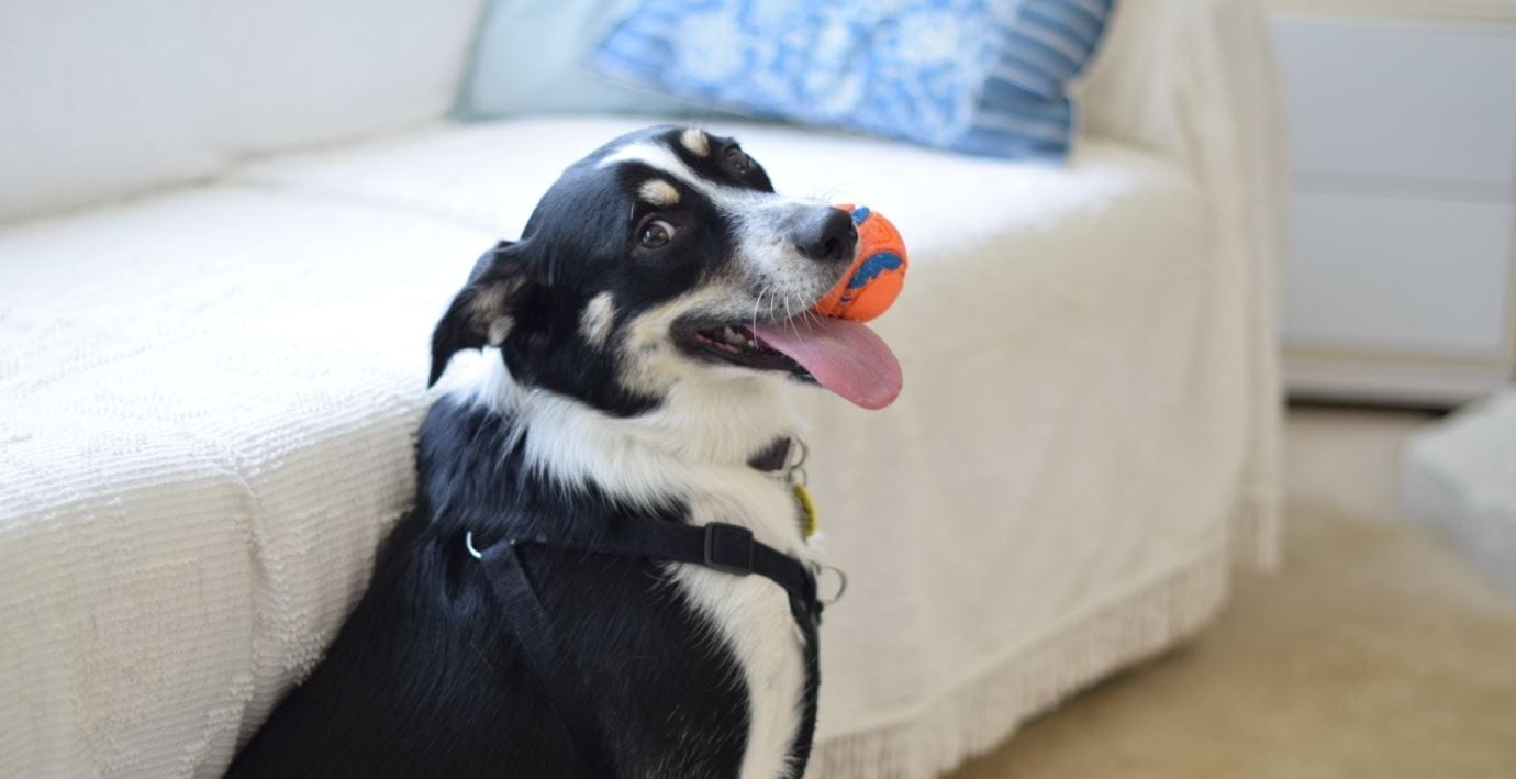 Dog holding a toy ball