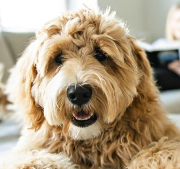 Crossbreeds dog closeup