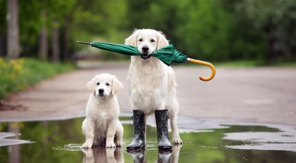 Two dogs hold umbrella
