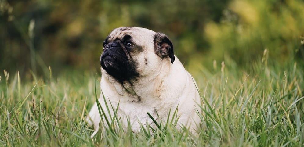 Pug at grass park