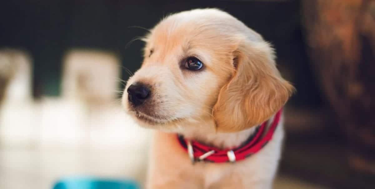 Lab puppy looks away
