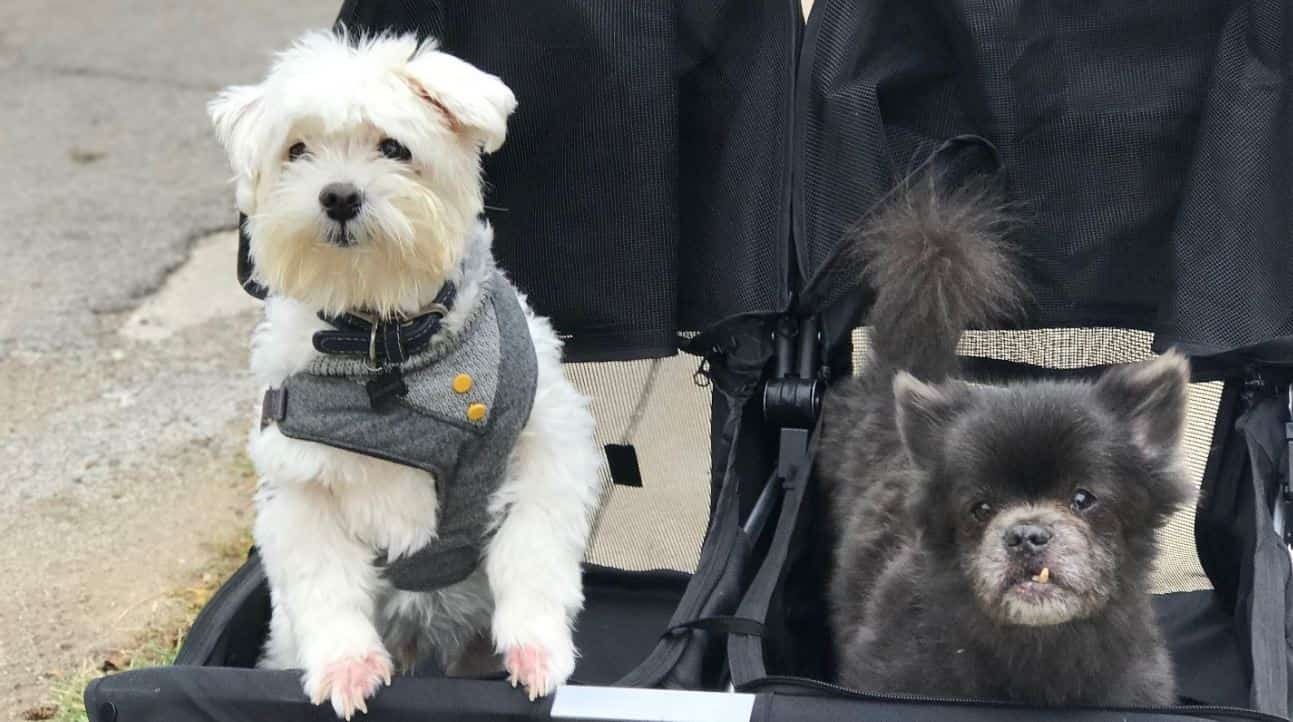 Dogs sit down on stroller