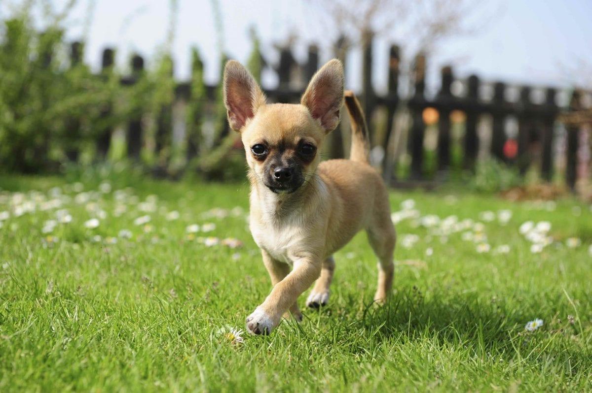 Chihuahuas breed page