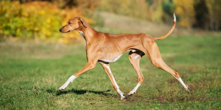 5th most expensive dog breed: Azawakh