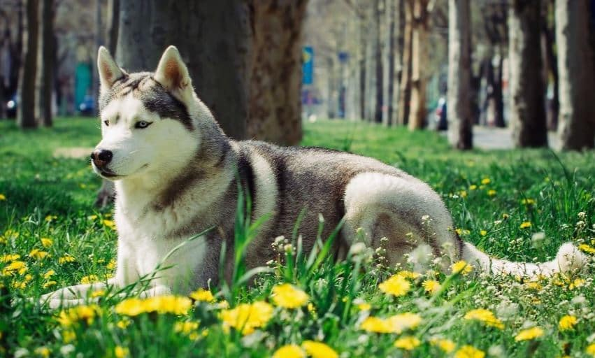7th most expensive dog breed: Canadian Eskimo