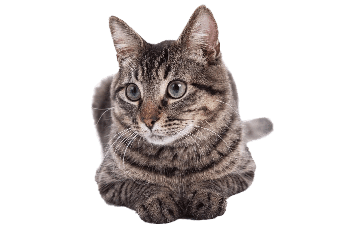 Domestic Shorthair breed page