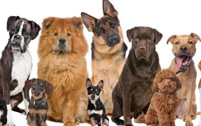 Top 10 Most Expensive Dog Breeds in 2020