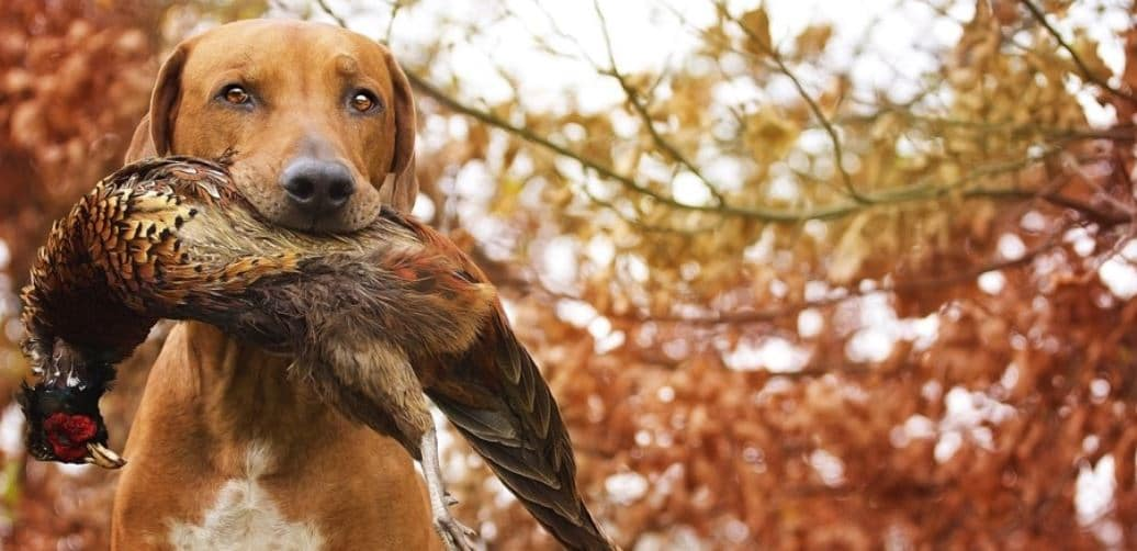 Hunting dog hunts a bird