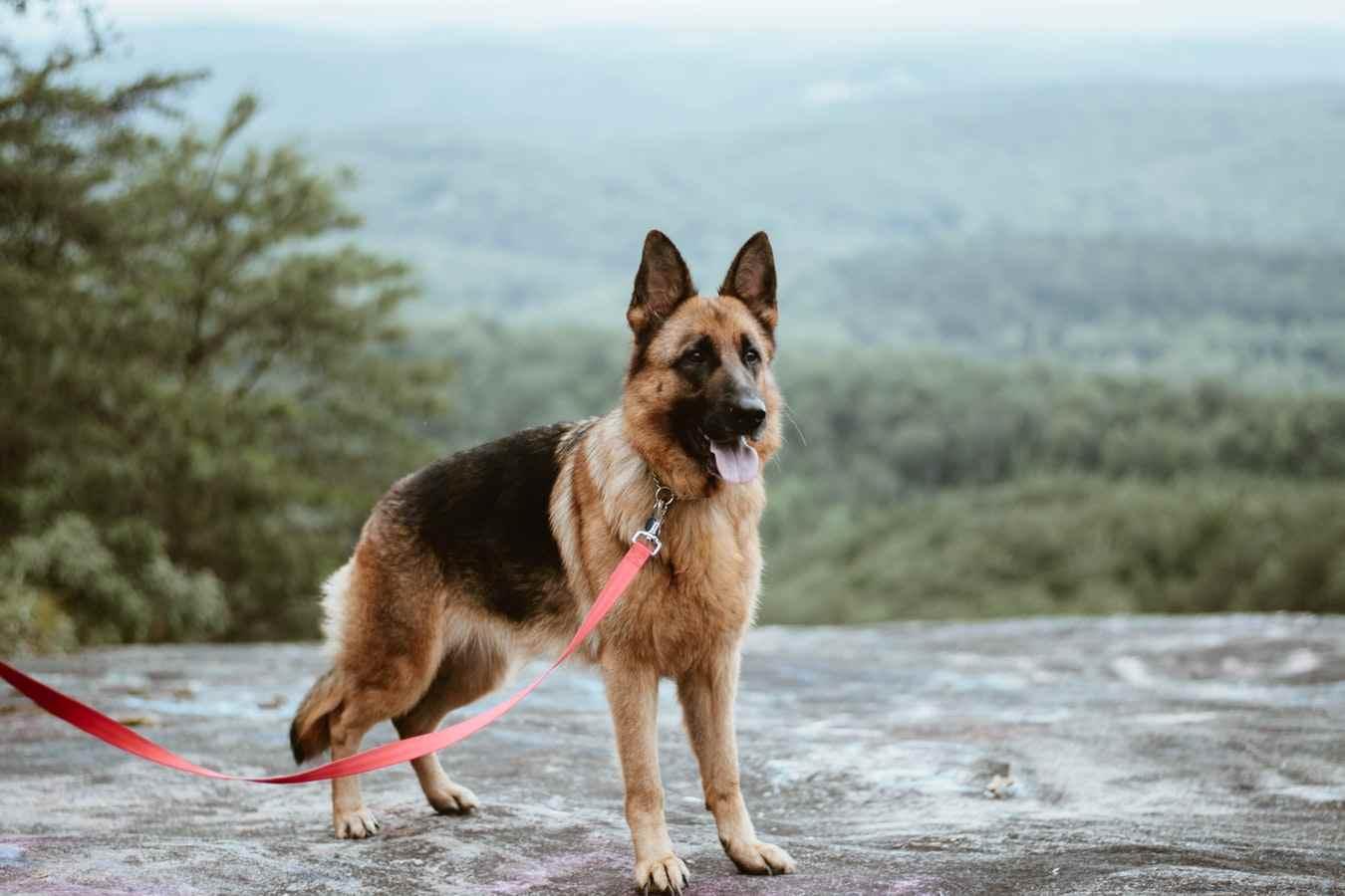 German Shepherds breed page