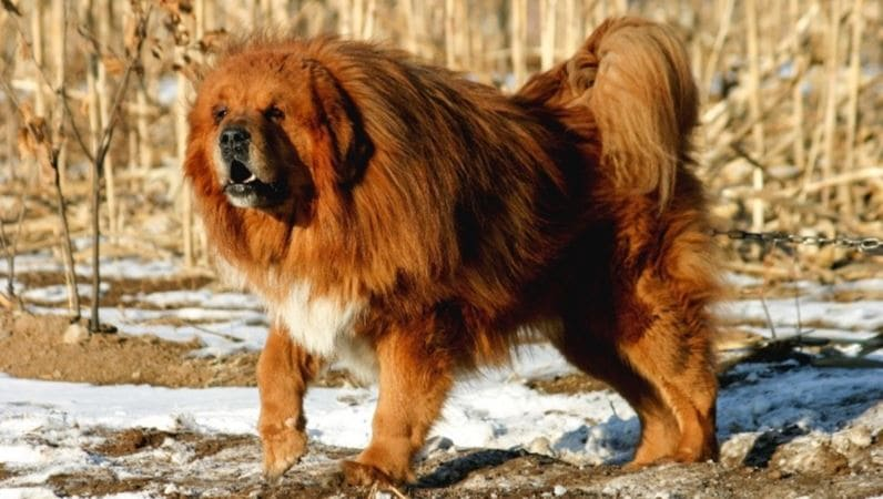 4th most expensive dog breed: Tibetan Mastiff
