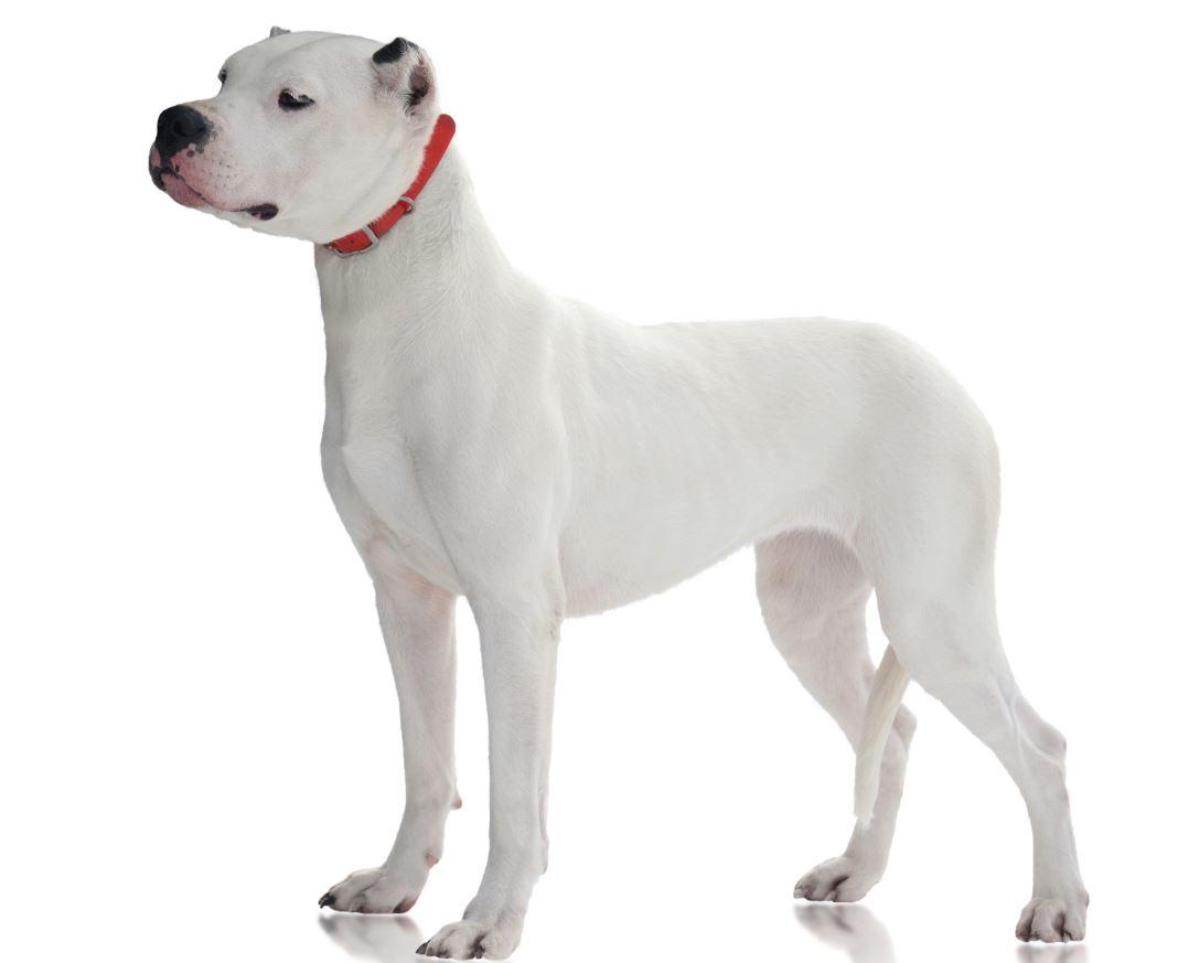 white pit bull on white background