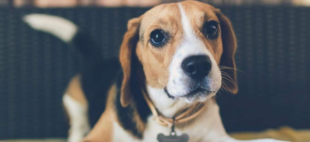 One of the most popular hound breeds: Beagle