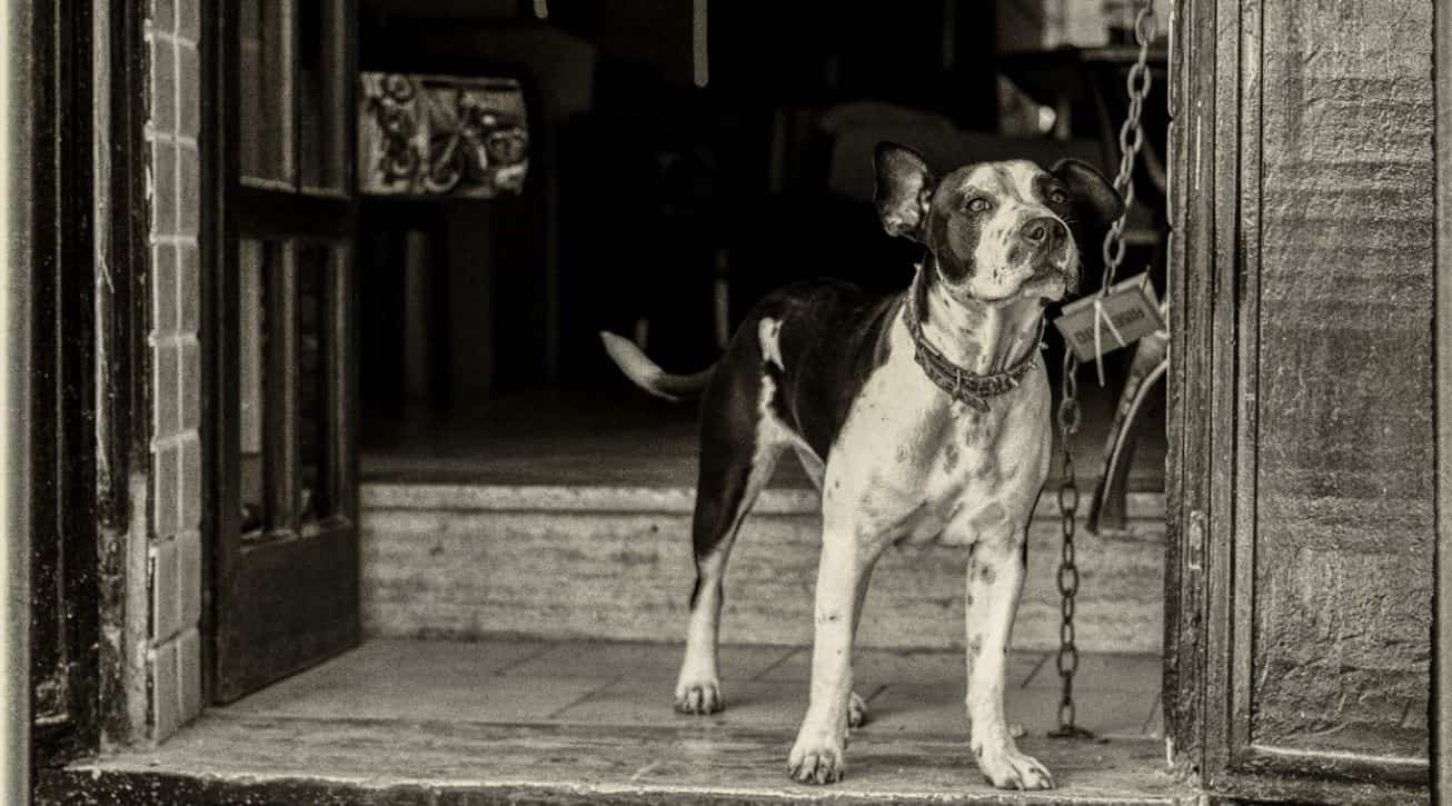 Old dog image in black and white
