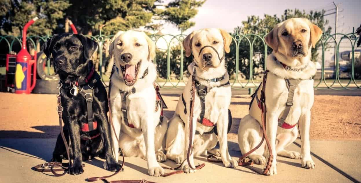 4 guide dogs in a row