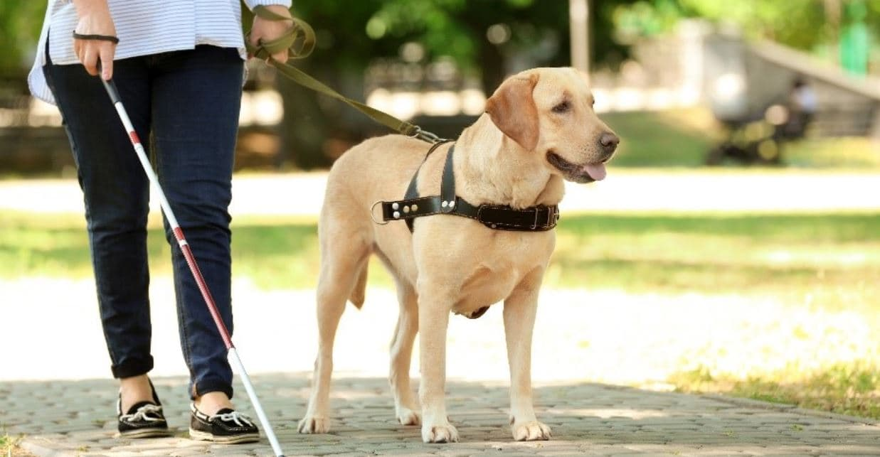 Guide dog in action