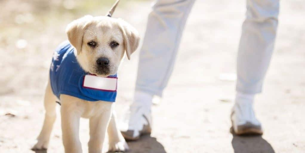 Puppy guide dog in training