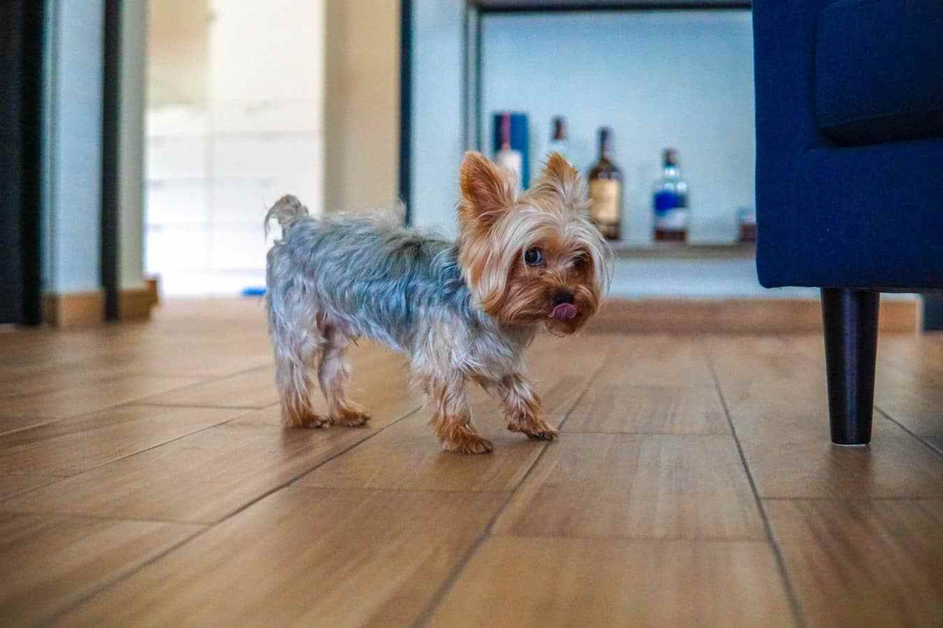 Yorkshire Terriers breed page