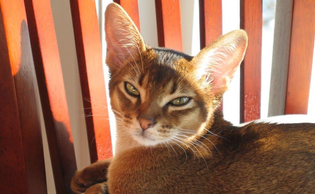 Cat breed like dog 1: Abyssinian