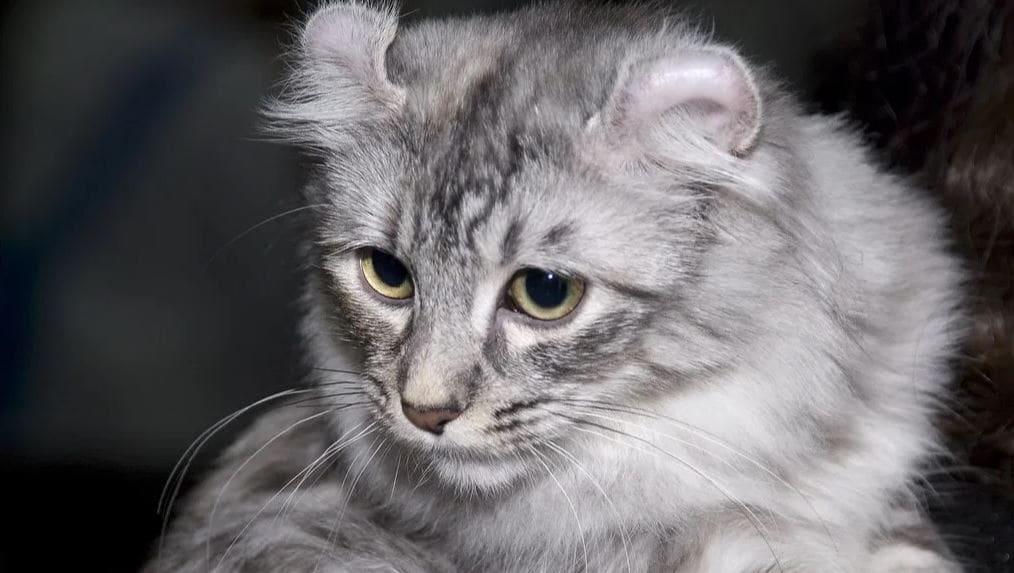 Cat breed like dog 8: American Curl