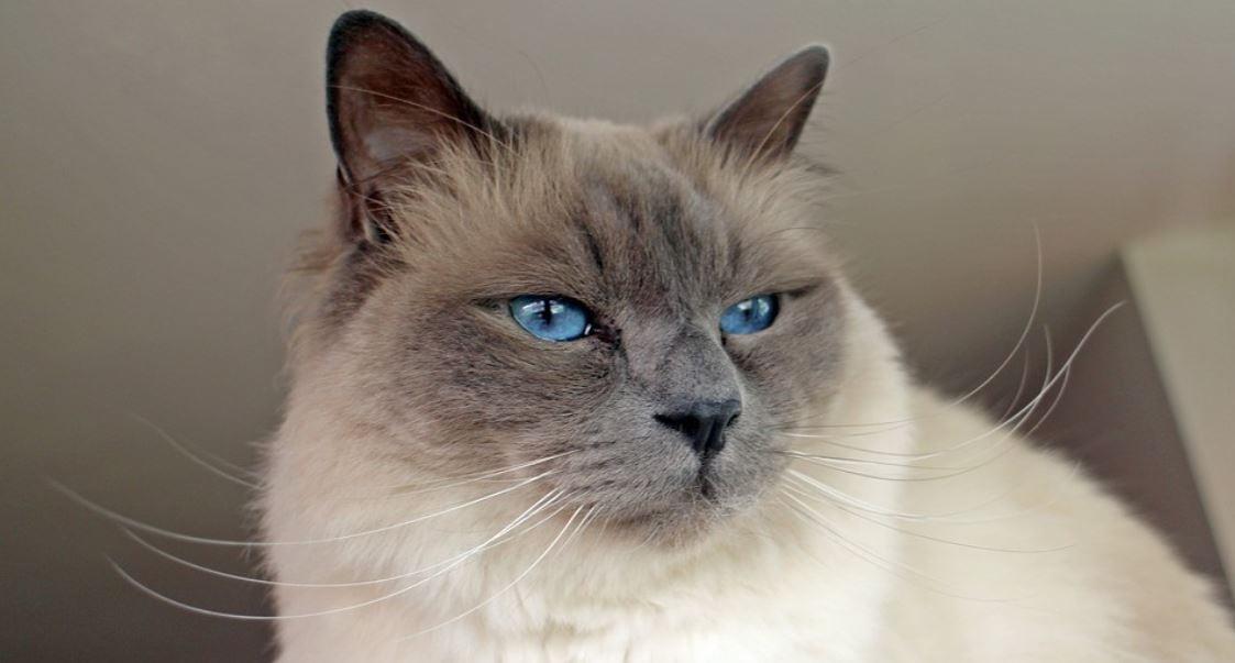 Cat breed like dog 7: Birman