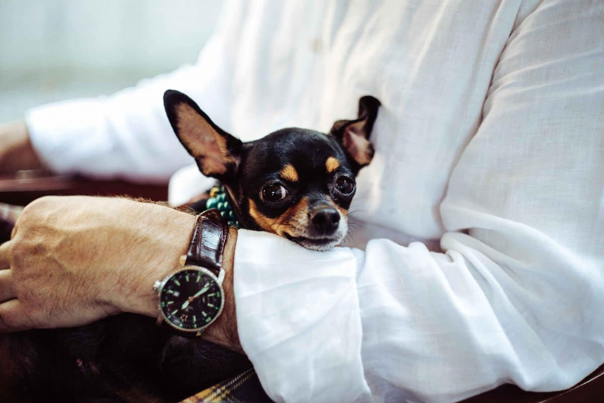 Chihuahua in mans arms