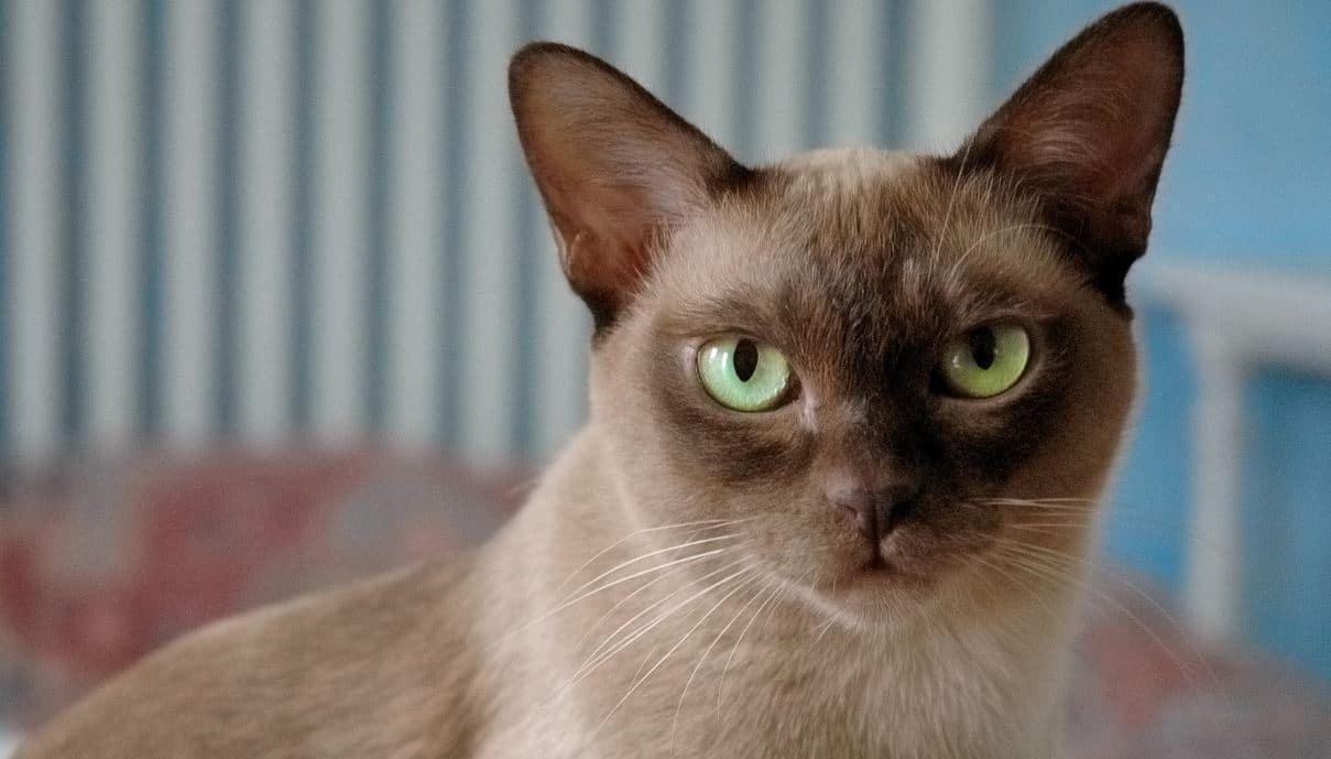 Cat breed like dog 9: Burmese
