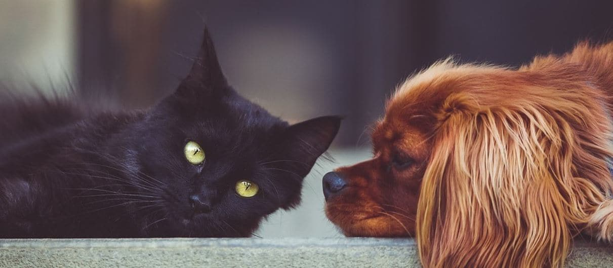 Black cat and ruby king charles cavalier dog lay down together