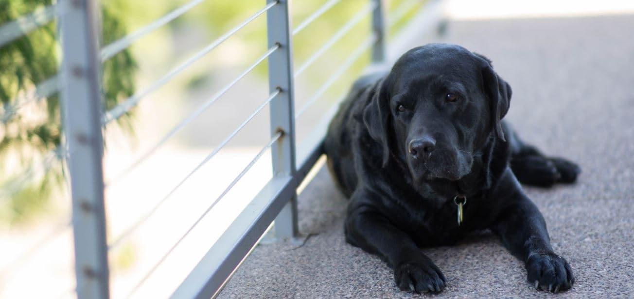 Black dog sits at balcony