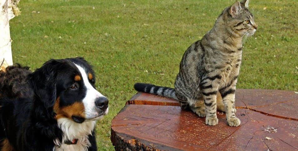 Cat sits on a table next to dog