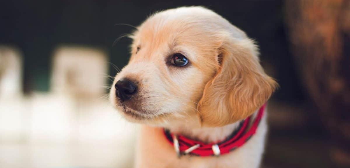 Labrador puppy close up