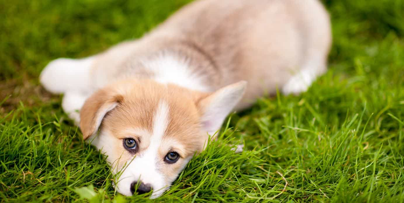 Puppy lying and looking at camera